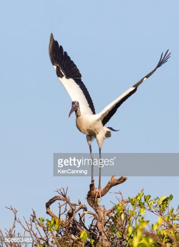 Wood Stork : Stock Photo