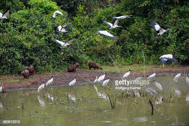 Wood storks herons and capybaras at a pond along the Transpantaneira Highway in the northern Pantanal Mato Grosso province in Brazil