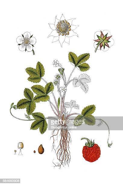Wood strawberry Fragaria vesca