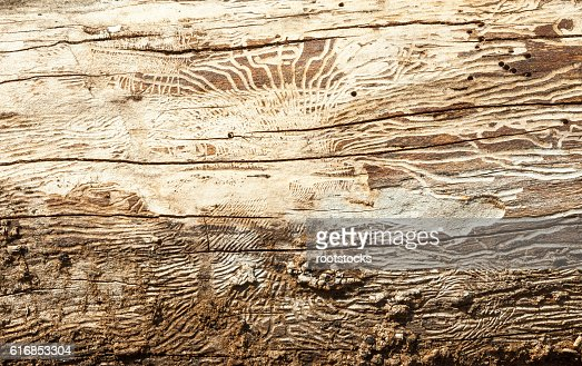 Wood with bark beetle galleries : Stock Photo