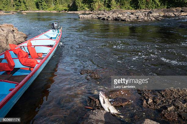 Wooden boat and large fish, freshly caught, Suriname river