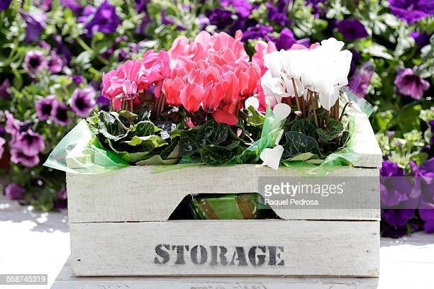 Wooden box with pink and white cyclamen