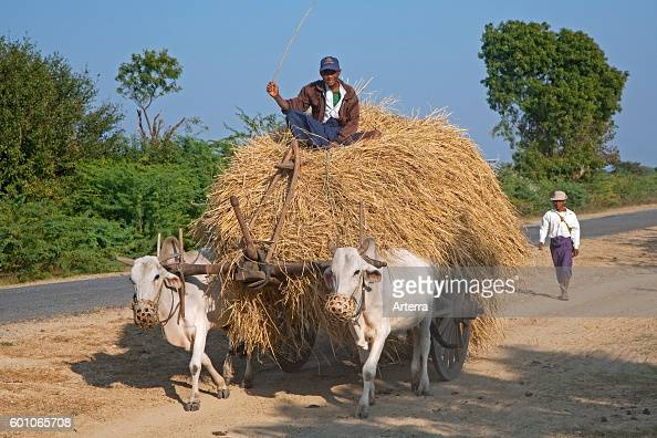 Wooden cart heavily loaded with hay pulled by two zebus / Brahman oxen in Myanmar / Burma