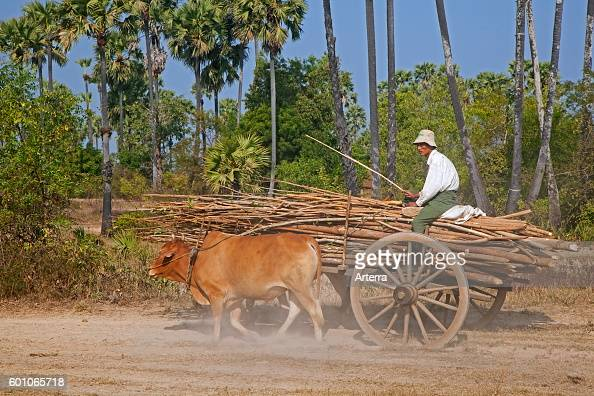 Wooden cart loaded with wood pulled by two zebus / Brahman oxen in Myanmar / Burma