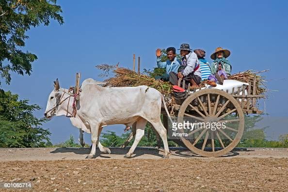 Wooden cart pulled by two zebus / Brahman oxen in Myanmar / Burma