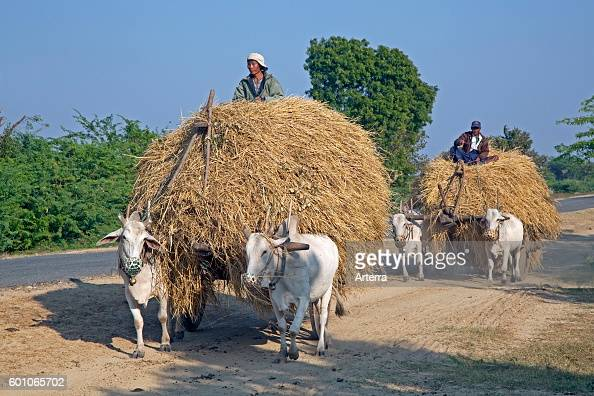 Wooden carts loaded with hay pulled by zebus / Brahman oxen in Myanmar / Burma