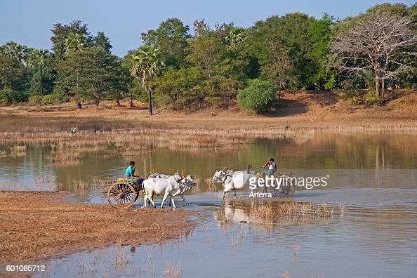 Wooden carts pulled by zebus / Brahman oxen crossing river in Myanmar / Burma