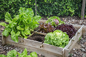 Wooden vegetable garden boxes with different kinds of salads