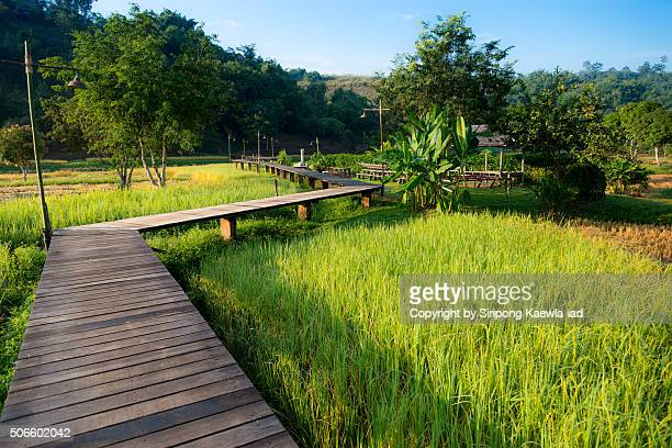 Wooden Walkway through the rice paddy to the village in the morning