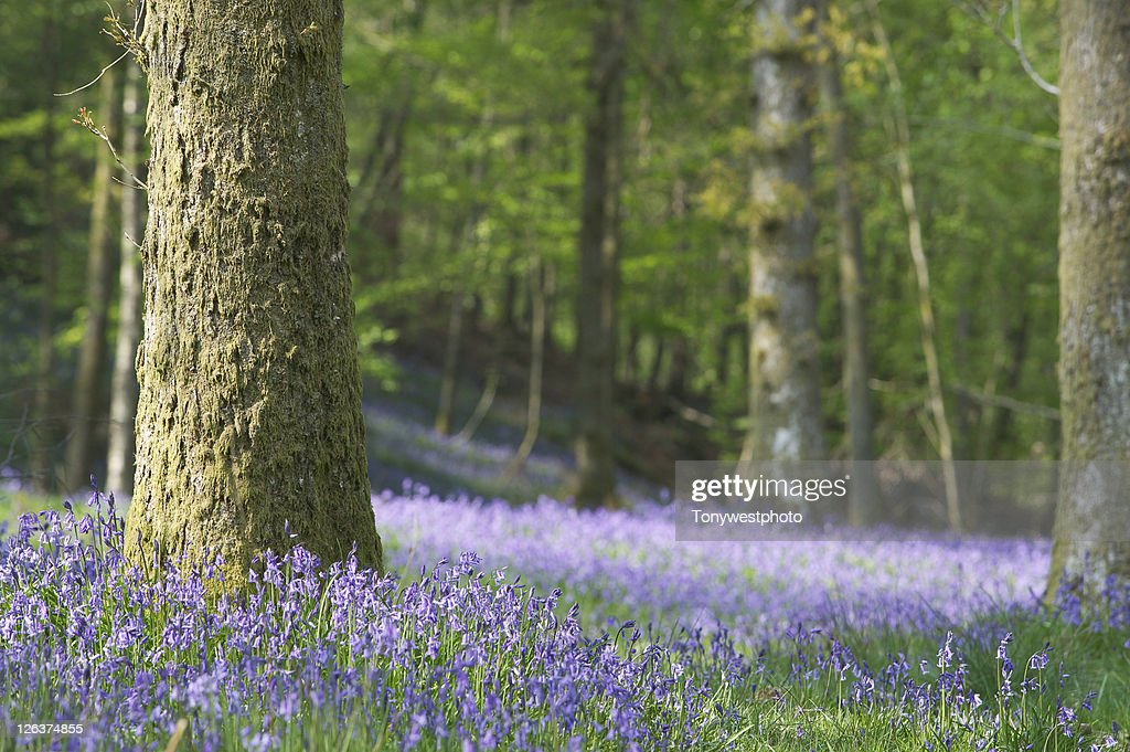 Woodland floor with bluebells : Stock Photo