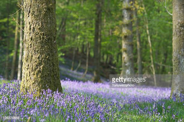 Woodland floor with bluebells
