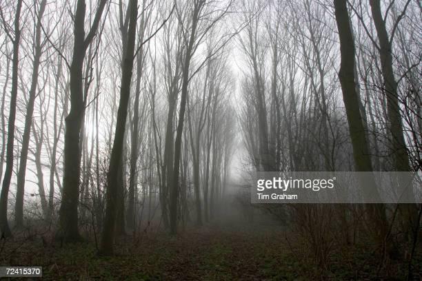 Woodland in the mist Gloucestershire United Kingdom