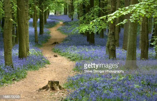 Woodland Path Through Bluebells