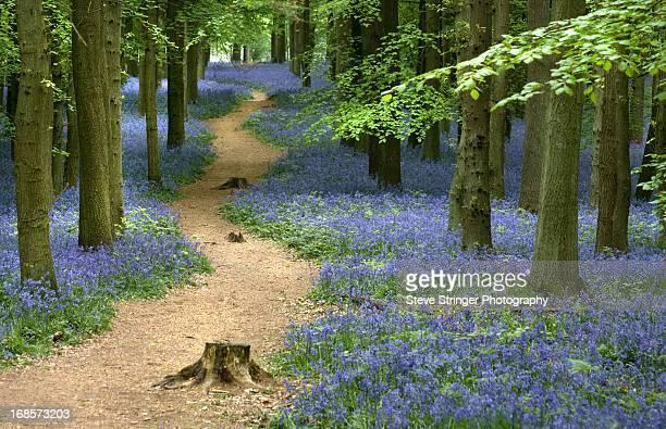 Woodland Path Through Bluebells