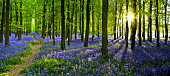 Woodland with carpet of bluebells