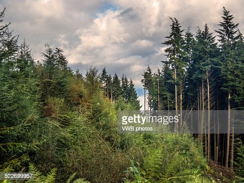 Woodland with Scots Pines