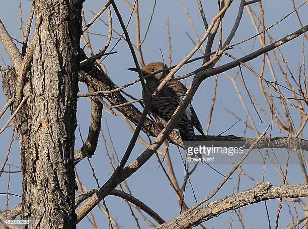 A woodpecker escavates a nest in the branch of a tree along West Tollgate Creek Wednesday morning