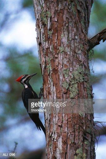 Woodpecker tapping tree : Stock Photo