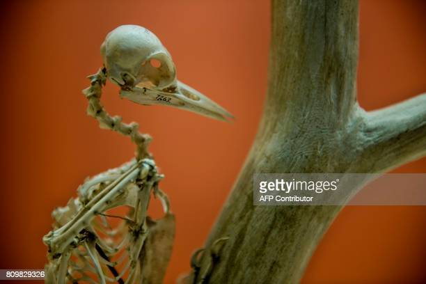A woodpecker's skeleton is seen at the Smithsonian's Natural History Museum on July 6 2017 in Washington DC / AFP PHOTO / Brendan Smialowski