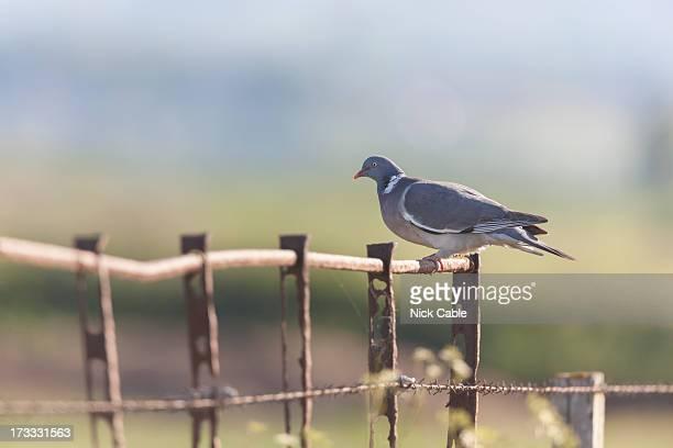 Woodpigeon on fence near Steart, Somerset