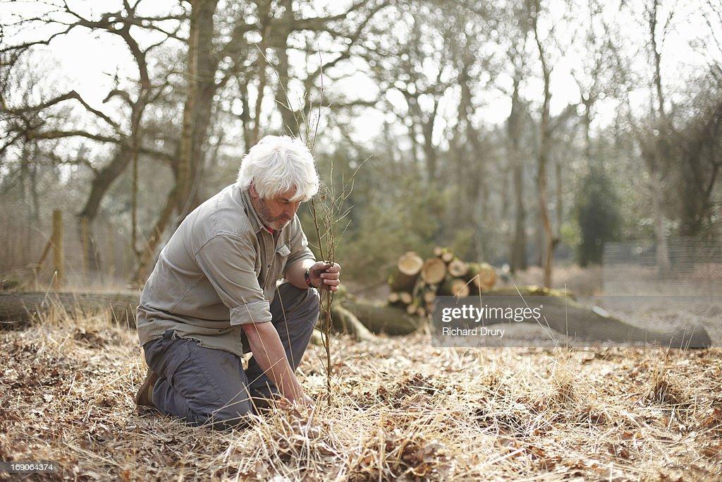 Woodsman transplanting silver birch sapling