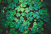 Wood-sorrel, full frame