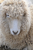 Woolly face