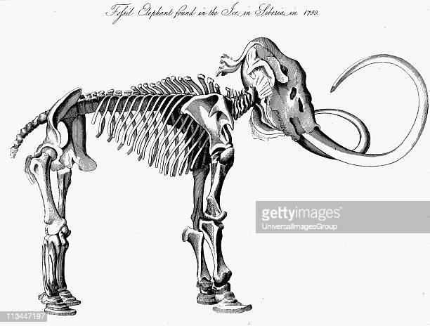 Woolly Mammoth skeleton approximately 3m high 55m long discovered in the ice in Siberia in 1799 Extinct genus of elephant from Pleistocene Epoch...