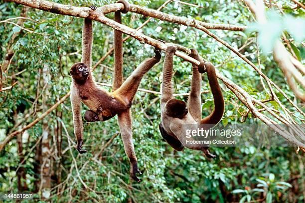 Woolly Monkeys in Tree Amazon Brazil South America