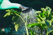 Watering from plastic watering can on the garden.