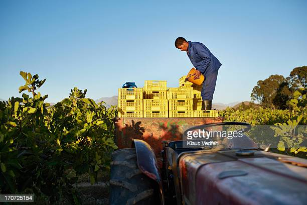 Worker at fruit farm, pouring figs into boxes
