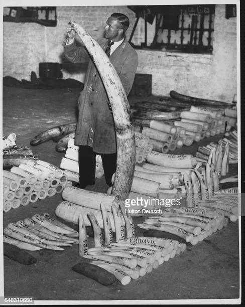 A worker at the Port of London ivory warehouse sorts tusks by size in preparation for a sale