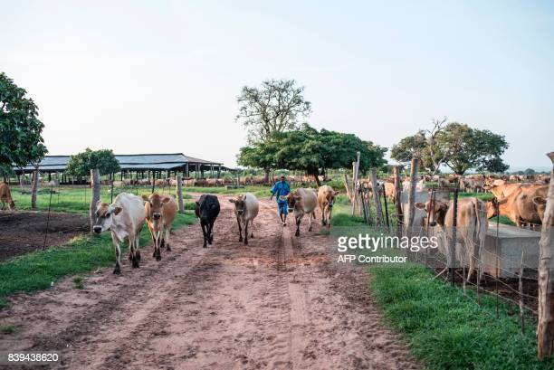 A worker at the Rosedale Dairy Farm herds some cattle back to their camp on July 11 2017 Farming in Nigeria is not for the fainthearted Intermittent...