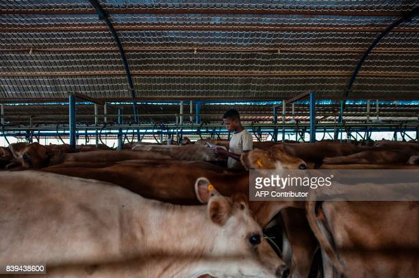 A worker at the Rosedale Dairy Farm inspects milk cows before they enter the dairy to be milked on July 11 2017 Farming in Nigeria is not for the...