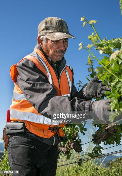 A worker at Wild Creek Vineyard located on a nearby mountain hillside suckers a cabernet sauvignon grapevine on May 5 near Cloverdale California...