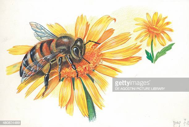 Worker bee sucking nectar and pollen from a flower illustration