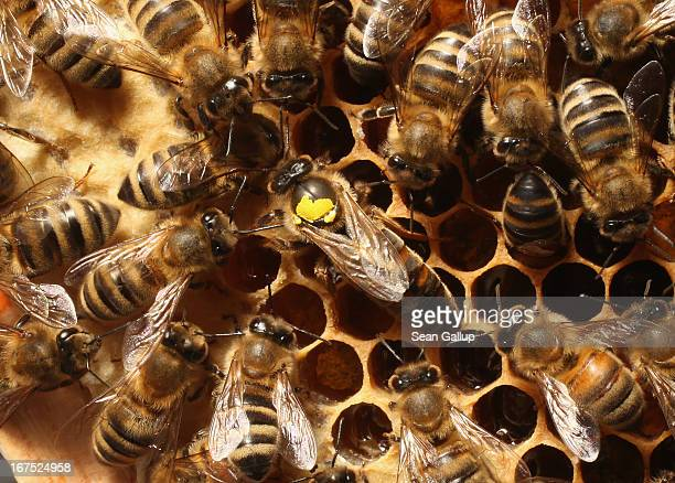 Worker bees surround a queen who is marked with a yellow spot on her back in the colony of beekeper Reiner Gabriel in the garden of his home near...