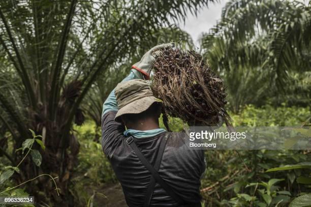 A worker carries a bunch of African oil palm fruit at the Empresa Reforestada de Palma de Peten SA plantation in Sayaxche El Peten department...