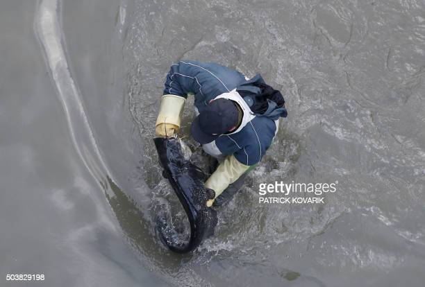 A worker carries a catfish removed from the canal Saint Martin in Paris on January 7 2016 before a drainage and cleaning operation / AFP / PATRICK...