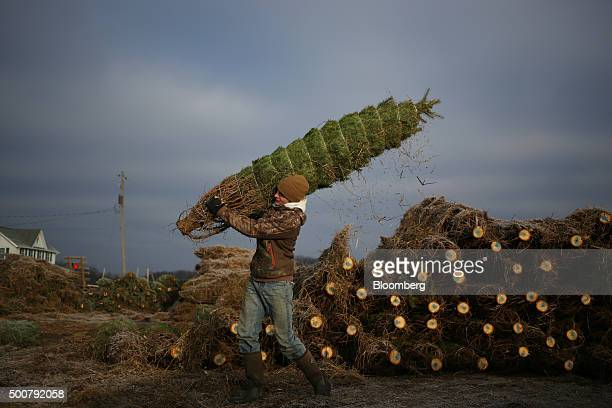 A worker carries a Douglas Fir tree to be loaded onto a truck during harvest at Brown's Tree Farm in Muncy Pennsylvania US on Tuesday Dec 8 2015...
