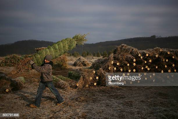 A worker carries a freshly harvested Douglas Fir tree to a truck at Brown's Tree Farm in Muncy Pennsylvania US on Tuesday Dec 8 2015 October...