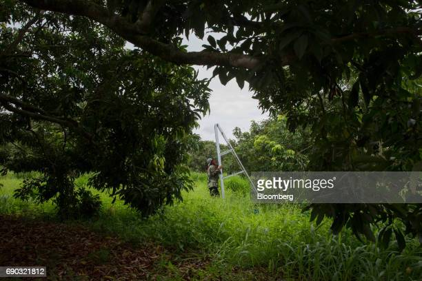 A worker carries a metal ladder at a lychee orchard in the Chai Prakan district of Chiang Mai province Thailand on Sunday May 28 2017 Thailand's...