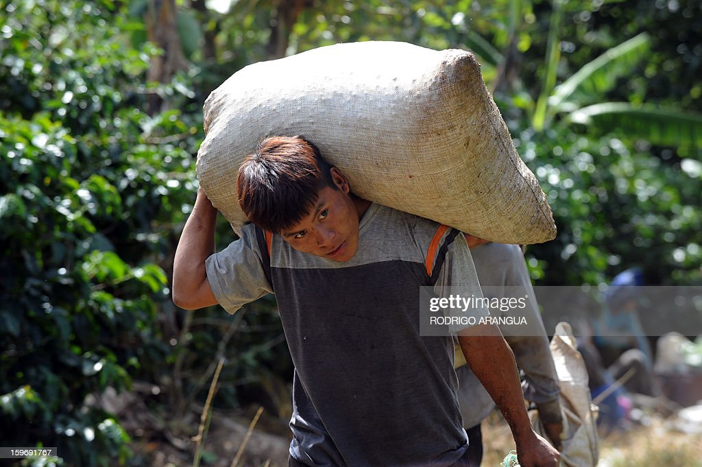 A worker carries a sack of coffee beans, in a farm in Santa Maria de Dota, 78km from San Jose, on January 17, 2013. Central America, one of main producers of the best Arabica Coffee, is analyzing to take measures to combat the Roya (Puccinia graminis) blight already threatening more than one third of the grain crop, one of the region's major export items. AFP PHOTO/ Rodrigo ARANGUA