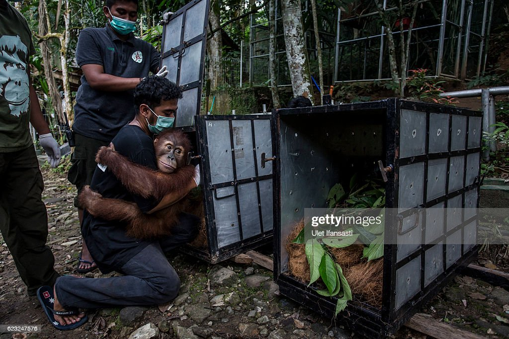 A worker carries a Sumatran orangutan (Pongo abelii) to put into a cage as being prepared to be released into the wild at Sumatran Orangutan Conservation Programme's rehabilitation center on November 14, 2016 in Kuta Mbelin, North Sumatra, Indonesia. The Orangutans in Indonesia have been known to be on the verge of extinction as a result of deforestation and poaching. Found mostly in South-East Asia, where they live on the islands of Sumatra and Borneo, the endangered species continue to lose their habitat as a result of corporate expansion in a developing economy. Indonesia approved palm oil concessions on nearly 15 million acres of peatlands over the past years and thousands of square miles have been cleared for plantations, including the lowland areas that are the prime habitat for orangutans.
