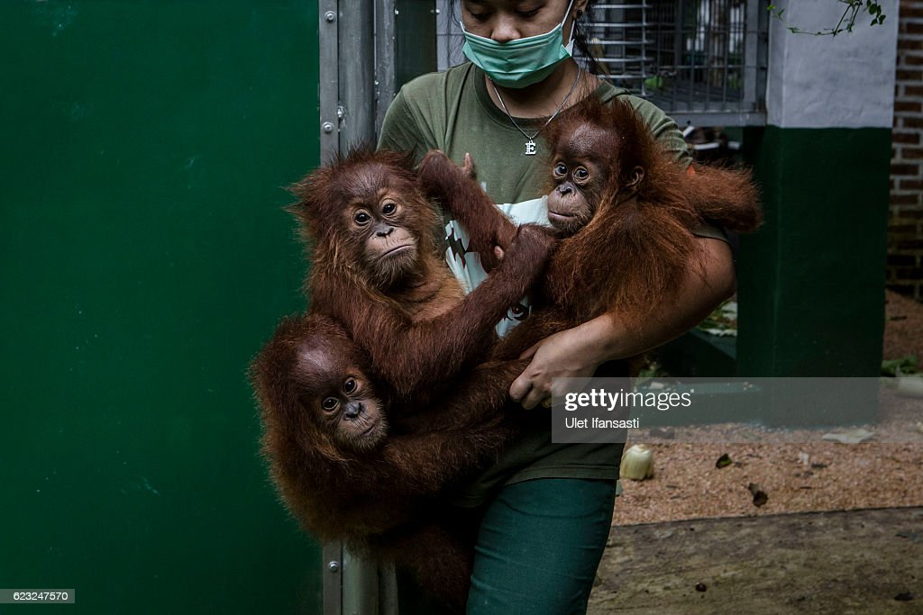 A worker carries baby sumatran orangutans (Pongo abelii) at Sumatran Orangutan Conservation Programme's rehabilitation center on November 10, 2016 in Kuta Mbelin, North Sumatra, Indonesia. The Orangutans in Indonesia have been known to be on the verge of extinction as a result of deforestation and poaching. Found mostly in South-East Asia, where they live on the islands of Sumatra and Borneo, the endangered species continue to lose their habitat as a result of corporate expansion in a developing economy. Indonesia approved palm oil concessions on nearly 15 million acres of peatlands over the past years and thousands of square miles have been cleared for plantations, including the lowland areas that are the prime habitat for orangutans.