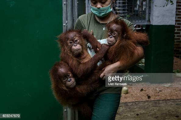 A worker carries baby sumatran orangutans at Sumatran Orangutan Conservation Programme's rehabilitation center on November 10 2016 in Kuta Mbelin...