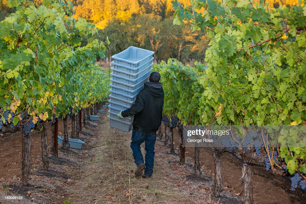 A worker carries grape bins into a cabernet sauvignon vineyard on September 27, 2013 in Napa Valley, California. Warm, sunny skies are helping vintners realize, for the second year in a row, a large crop with potential global sales of $12 billion.