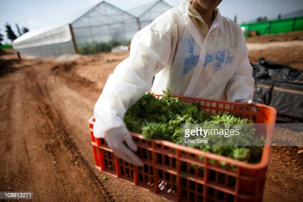 A worker carries medical marijuana at the growing facility of the Tikun Olam company on March 9 2011 near the northern city of Safed Israel In...