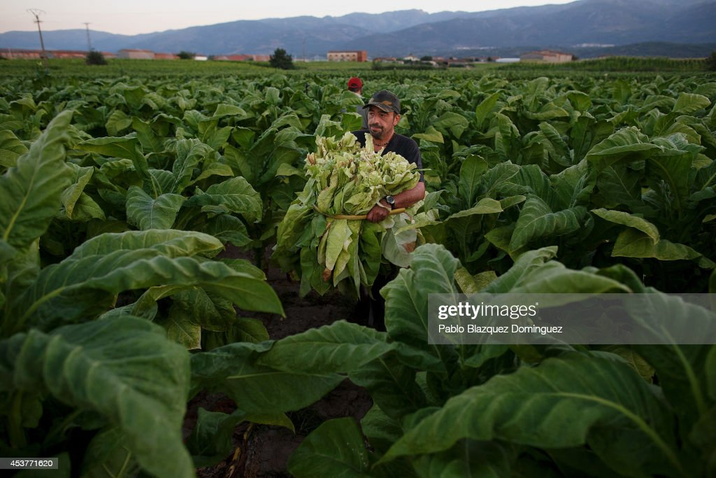 A worker carries ripe tobacco leaves during the tobacco harvest on a farm on August 15, 2014 near Valverde de la Vera, in Extreamdura region, Spain. There is one team of workers left who still do the Virginia tobacco harvest manually. Spain is the third biggest producer of tobacco in Europe. Around 90 percent of Spanish tobacco is grown in Extremadura, providing an income to around 20,000 families in the region. In recent years tobacco farming in Extremadura has started to mechanize, becoming more competitive but also leading to the loss of manual labour jobs.