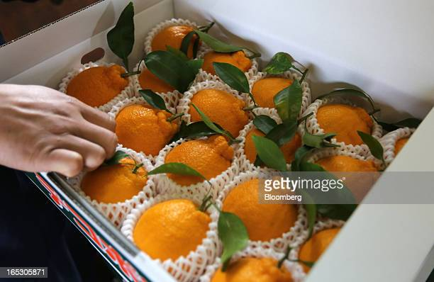A worker checks the quality of dekopons a Japanese citrus fruit at an agricultural cooperative on Gogo Island in Matsuyama Ehime Prefecture Japan on...